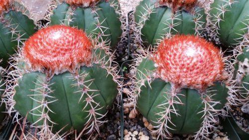 rare cacti buy
